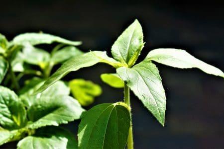 Comment faire une bouture de plantes grasses à tige longue ?