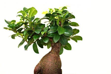Utilisation de la pumice pour les substrats à bonsaï