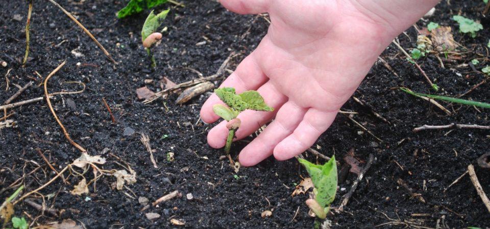 Comment entamer la culture des plantes potagères biochez soi?